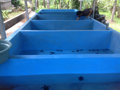 turtle pods, bali turtle farm, save the turtles